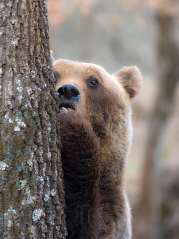 Daniza, orsa uccisa, Pinzolo